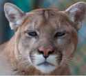 OS X 10.9 Should be Cougar