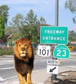 Lion on Highway