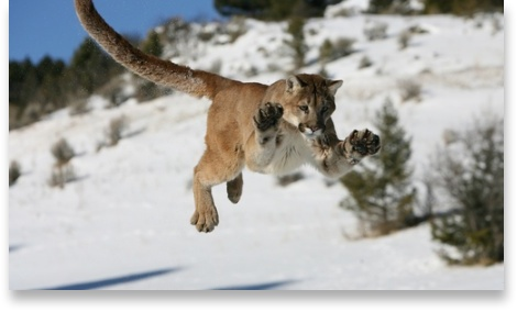 Mountain Lion pounces
