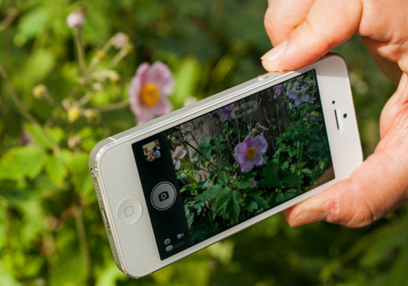 A person photographing a flower with an iPhone 5.