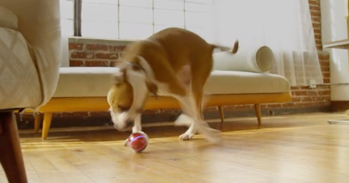 Pebby Smart Ball being played with by a dog
