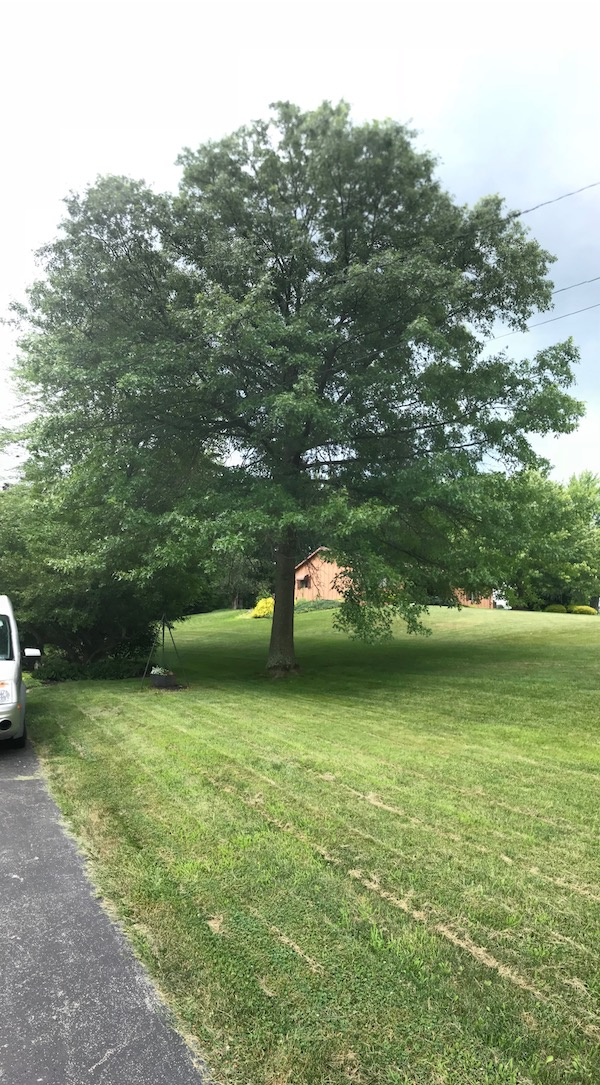 From the same location and zoom, a vertical panorama of the tree in my side yard