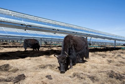 Yak's grazing on grass in China that grows under solar panels raised high for just this reason