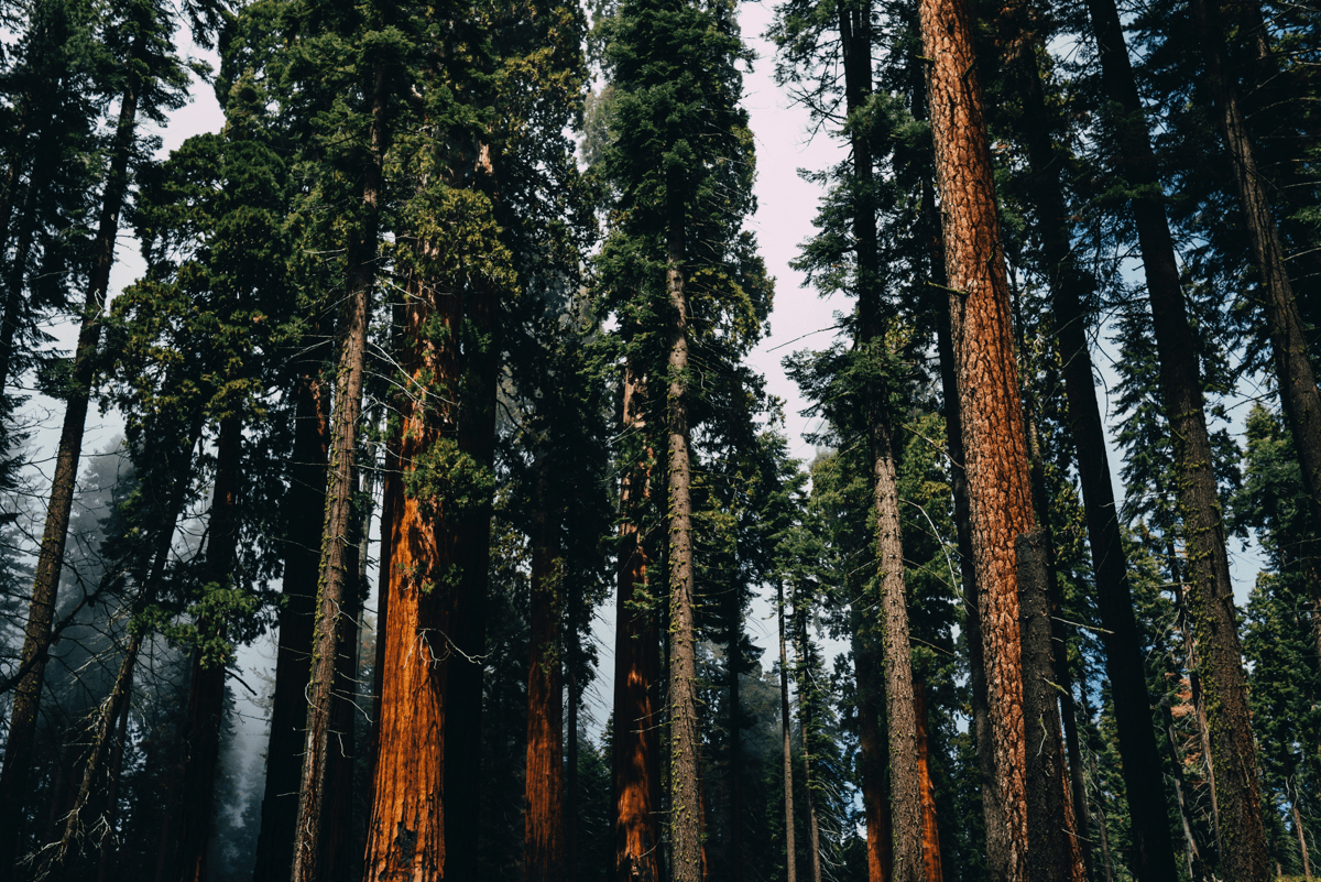 Image of sequoia trees. Will Sequoia be the next macOS version name?