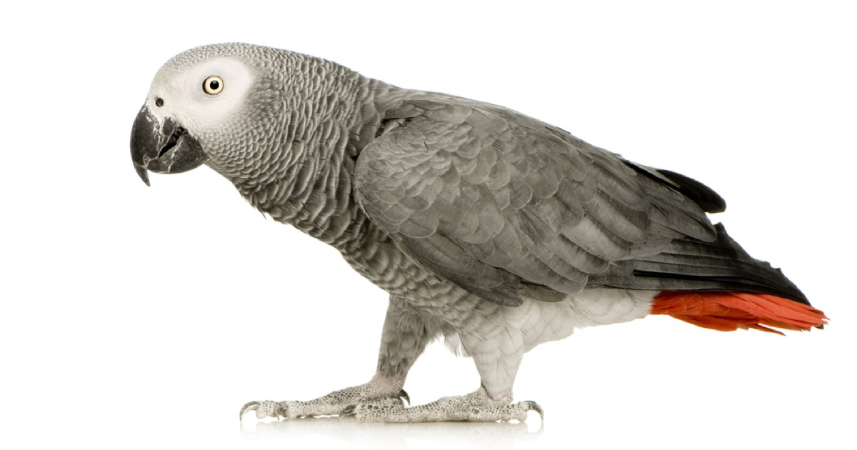 Owner's Parrot Uses Alexa to Play Music, Order Food