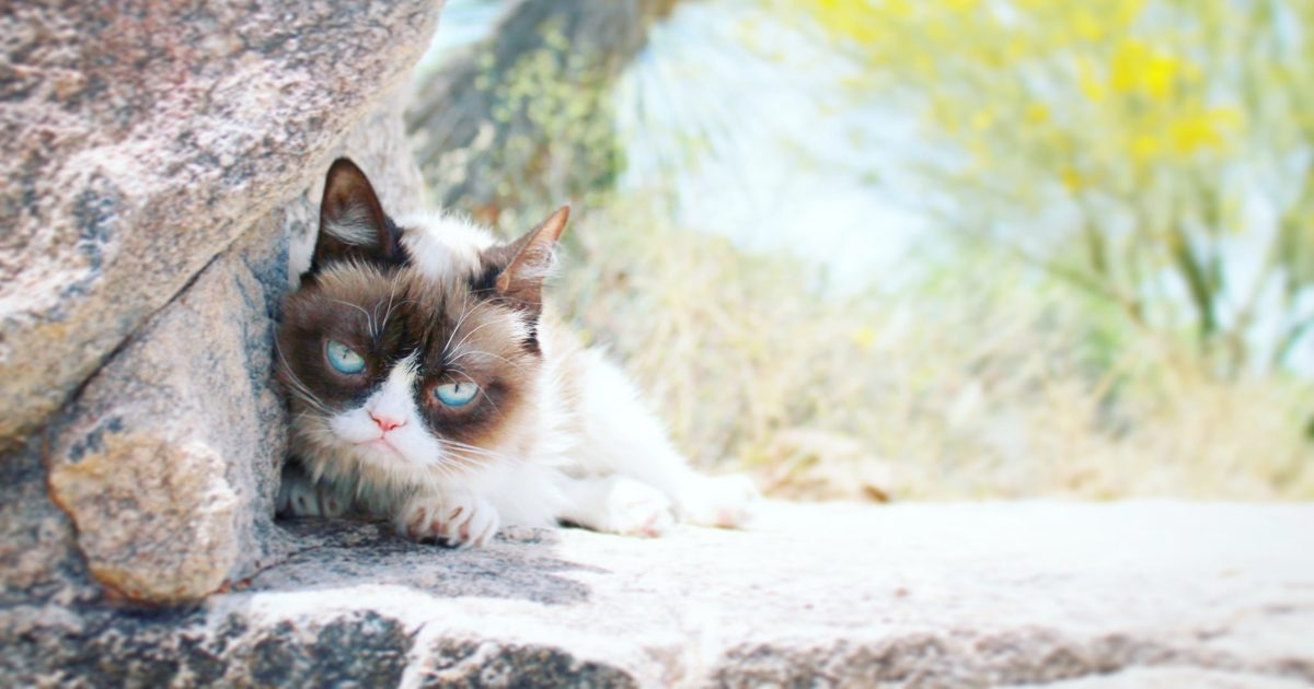 Grumpy Cat: Viral Sensation Dies at Age 7