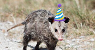 Opossum wearing party hat