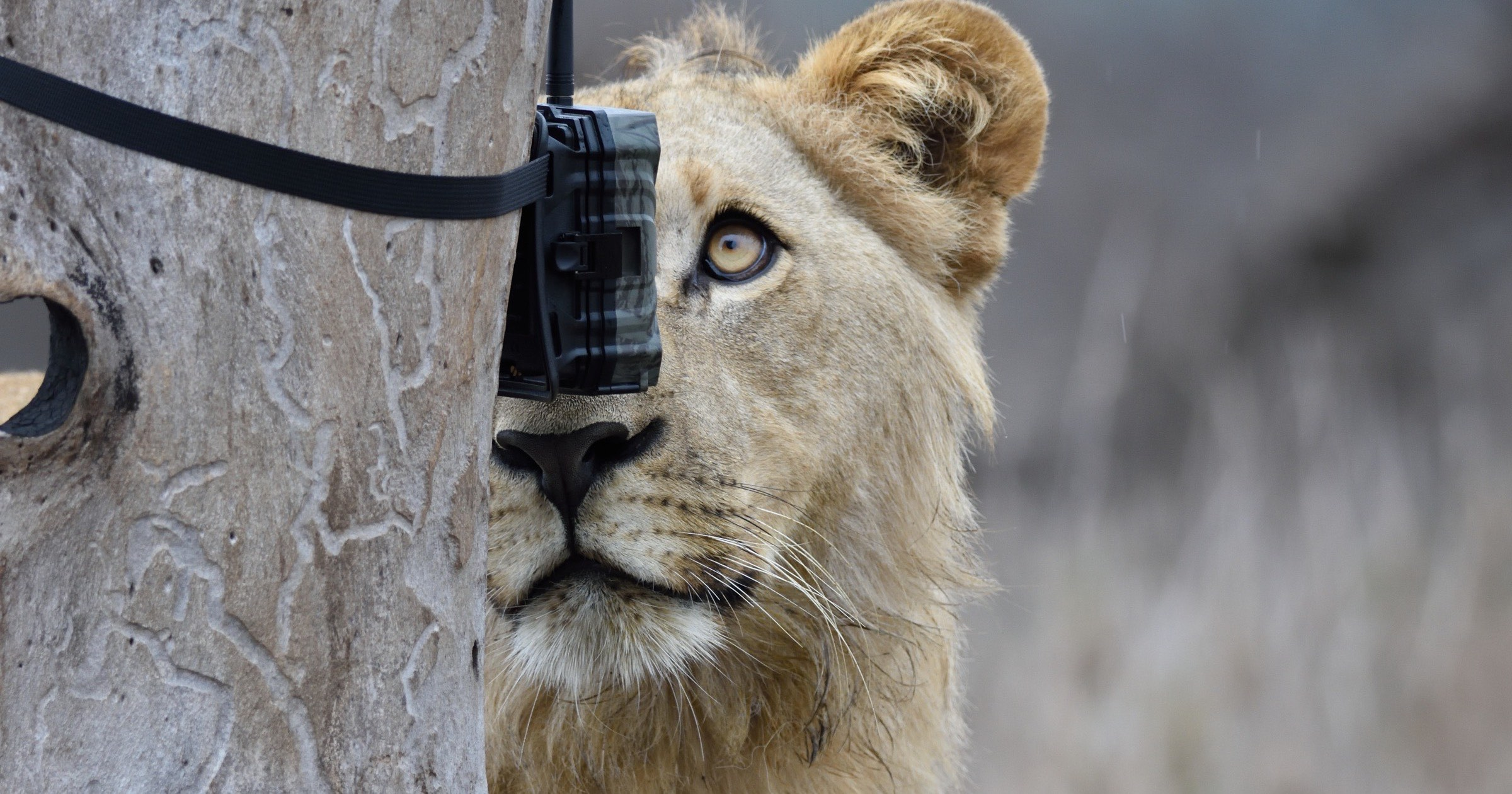 Lion and camera trap